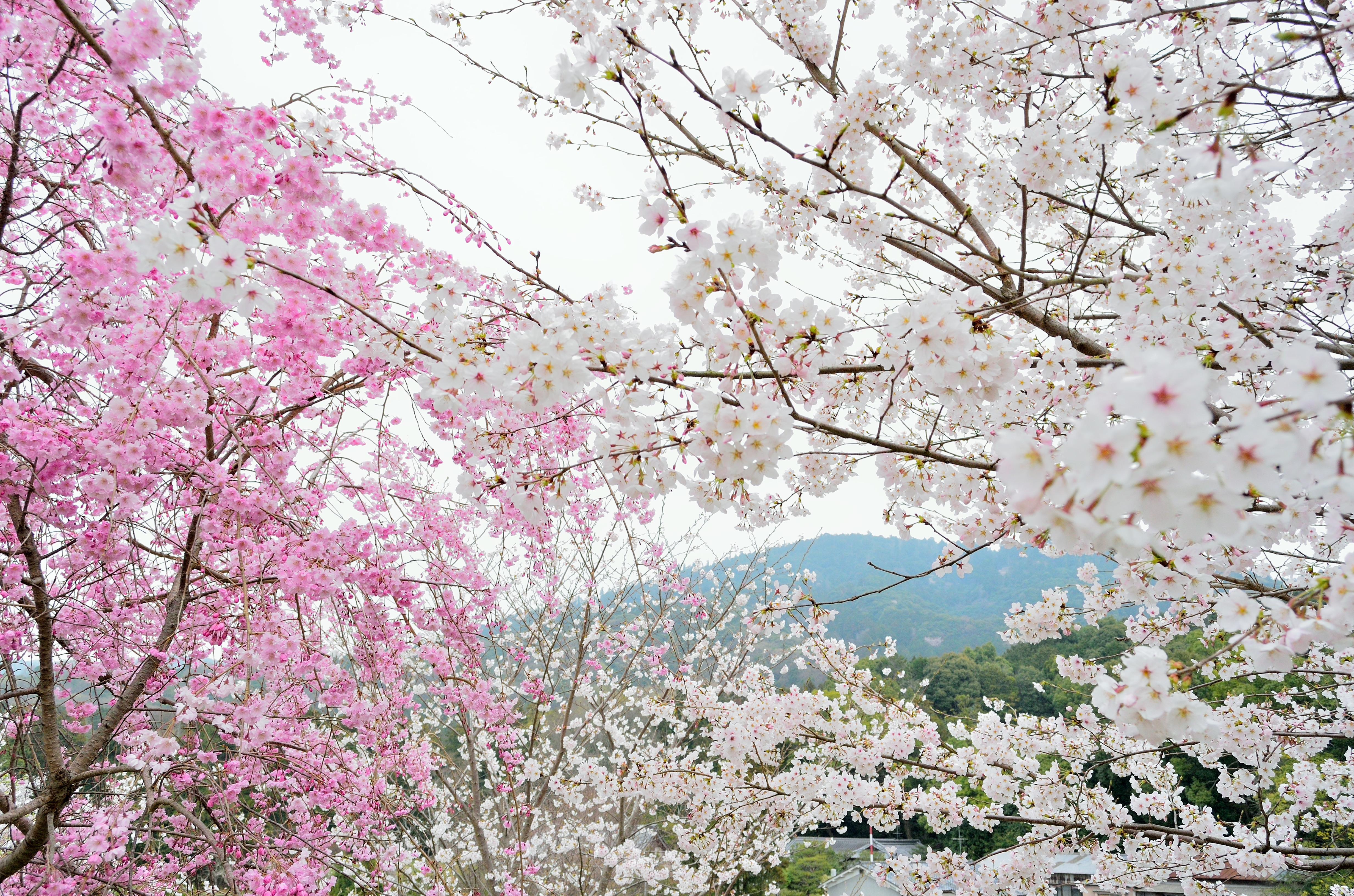 大美和の杜より春景三輪山を望む