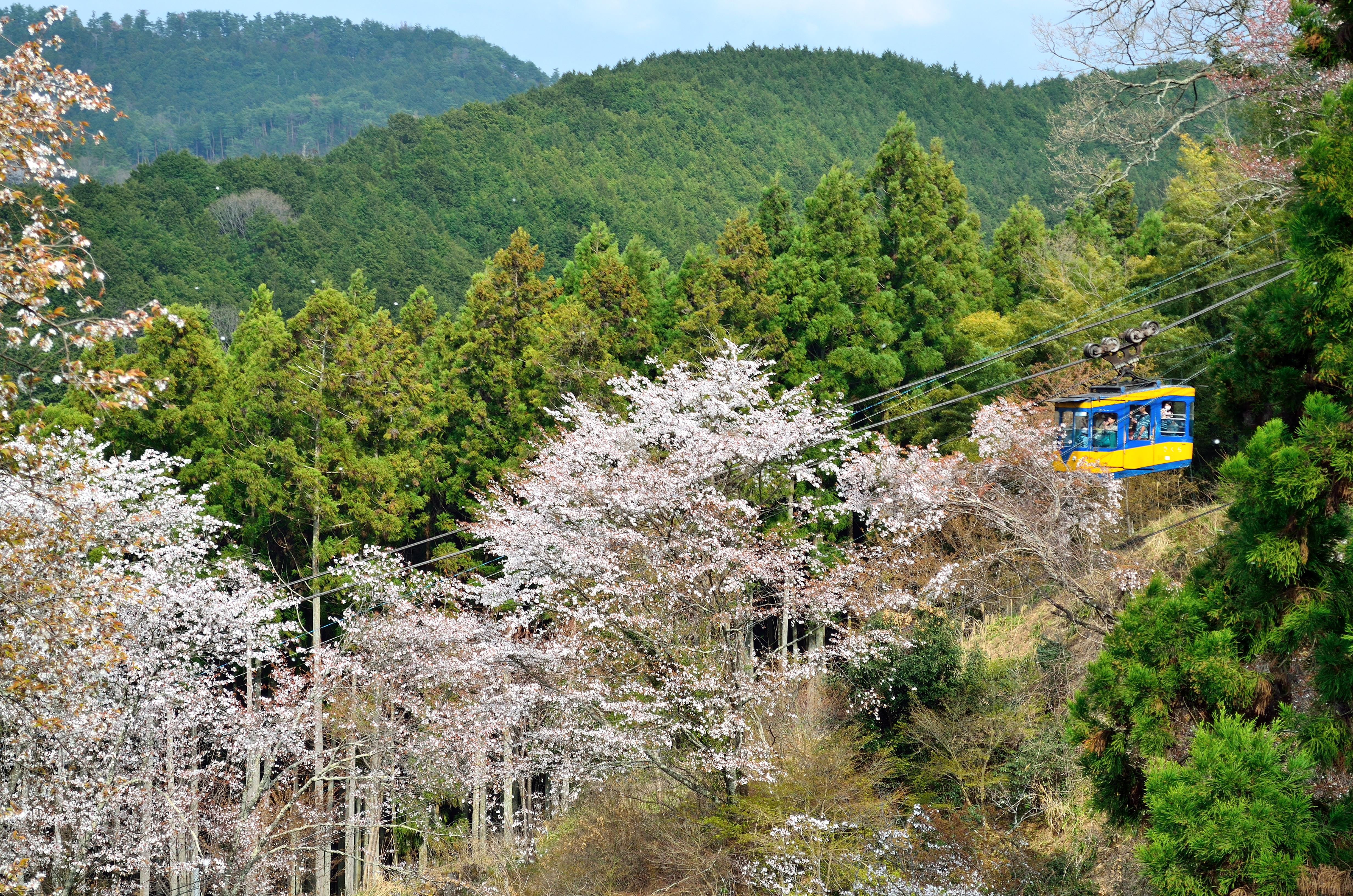 吉野山下千本 ロープウェイと桜