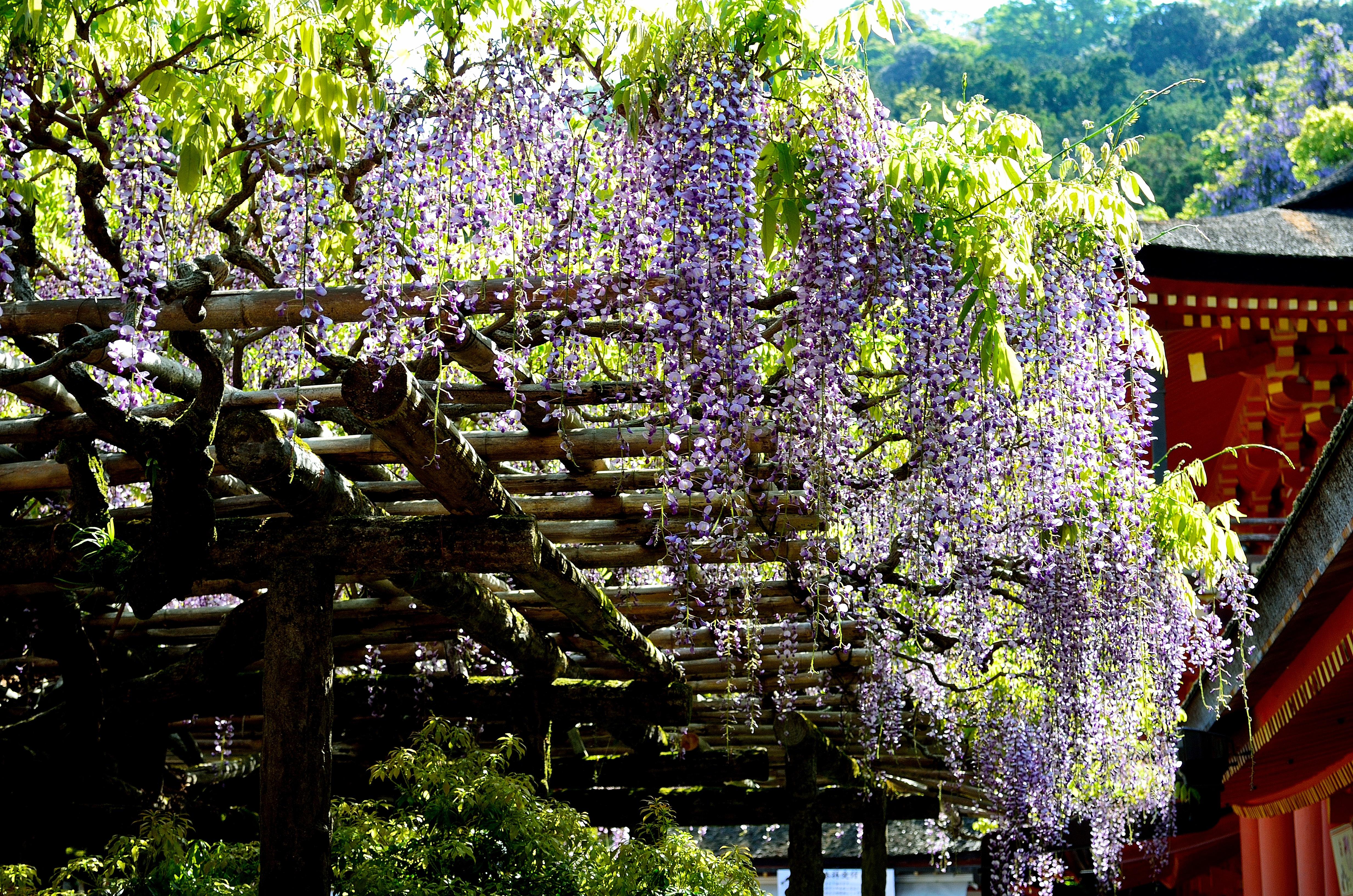 春日大社 砂ずりの藤