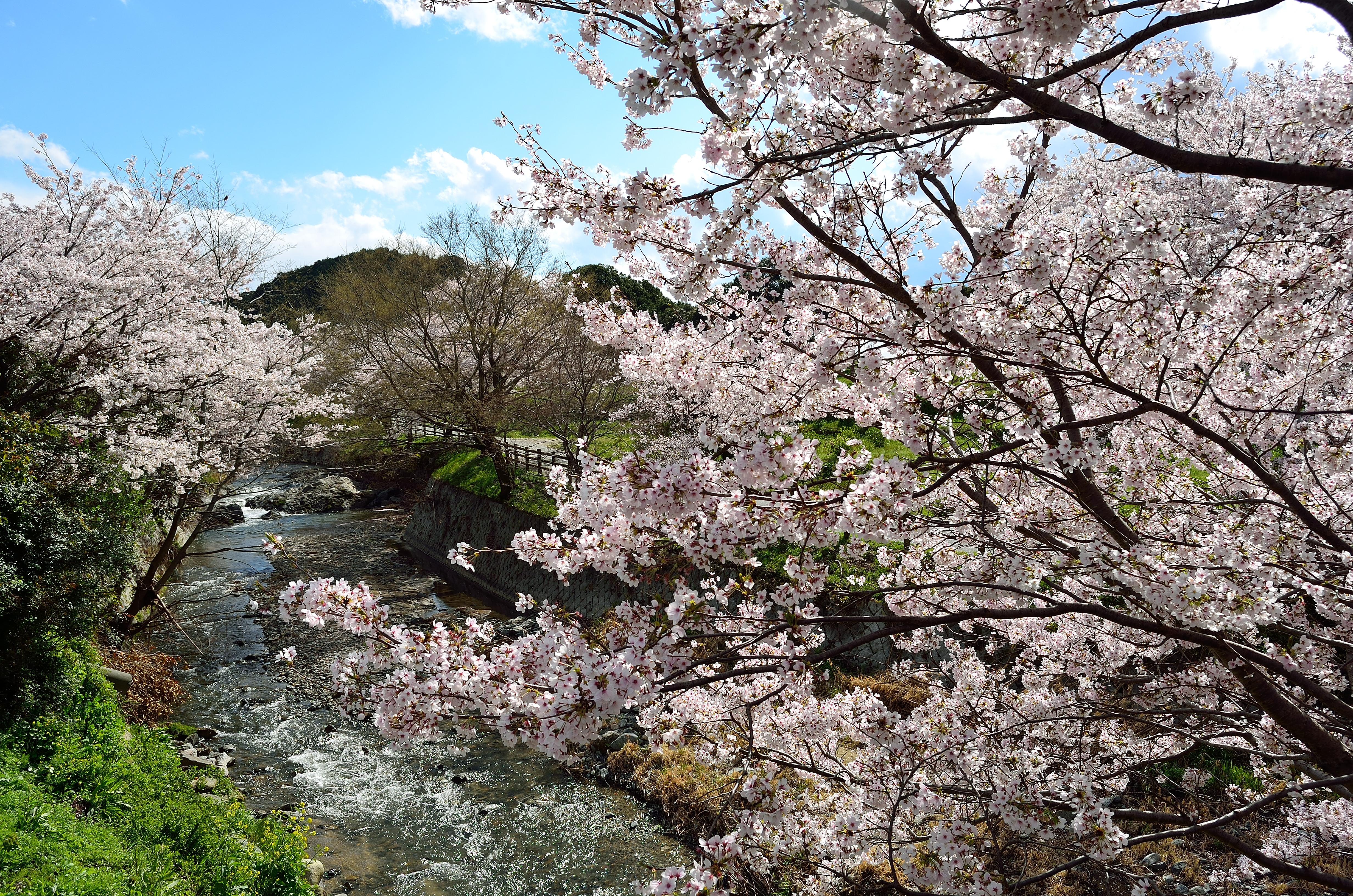 飛鳥川畔桜