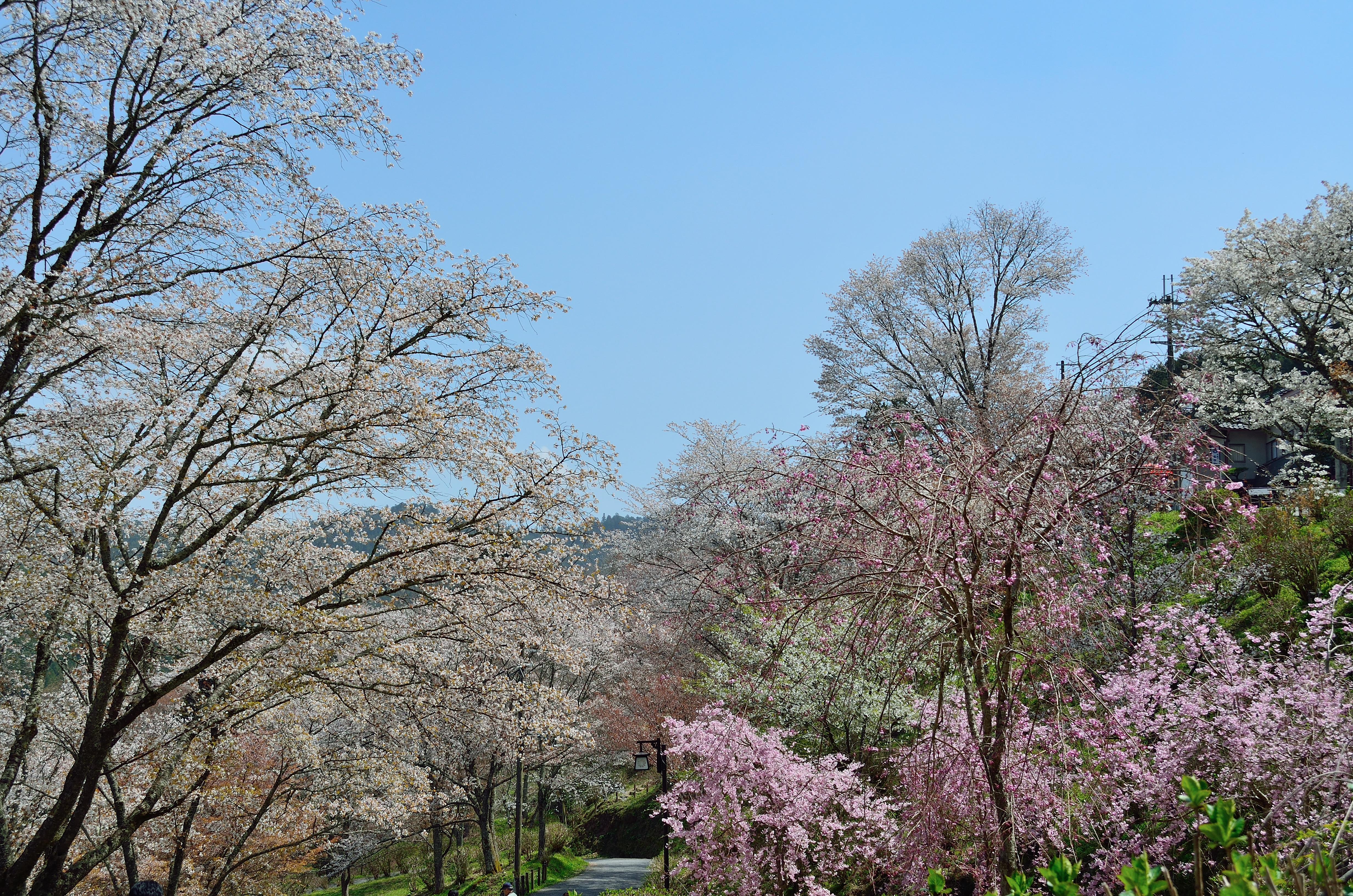 吉野山下千本 七曲坂の桜