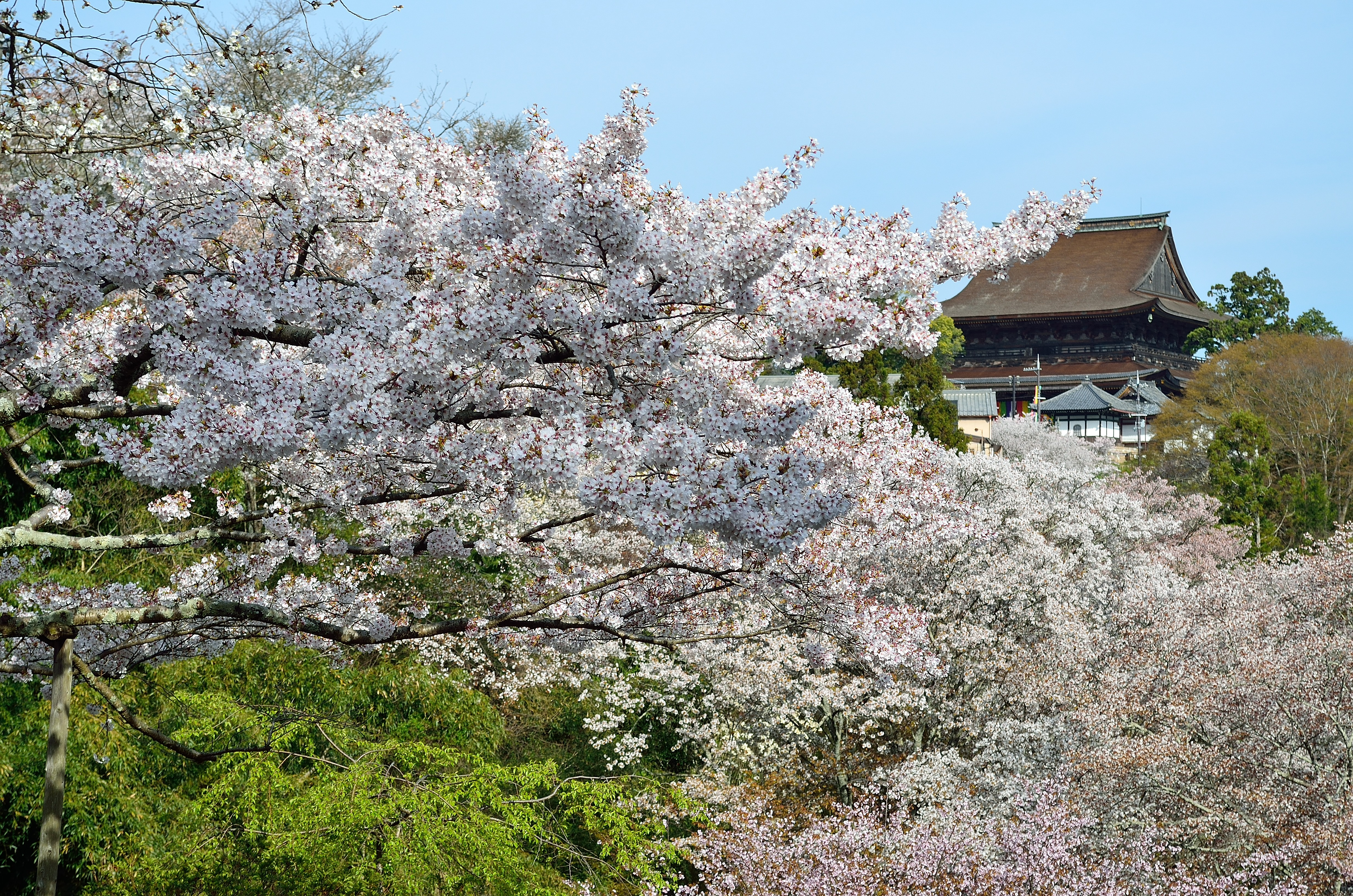 蔵王堂と桜