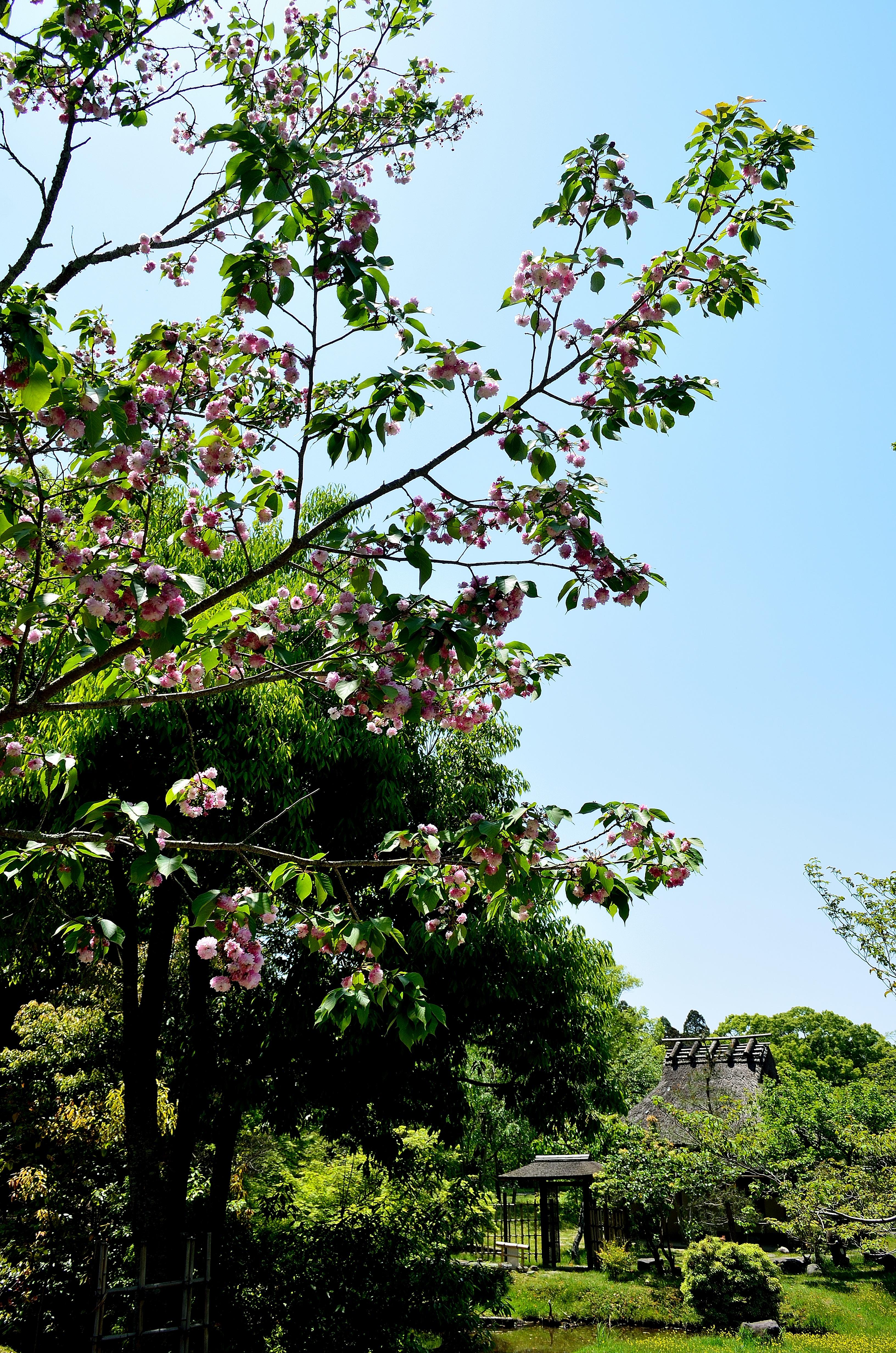 奈良国立博物館 八重桜と中庭庭園風景