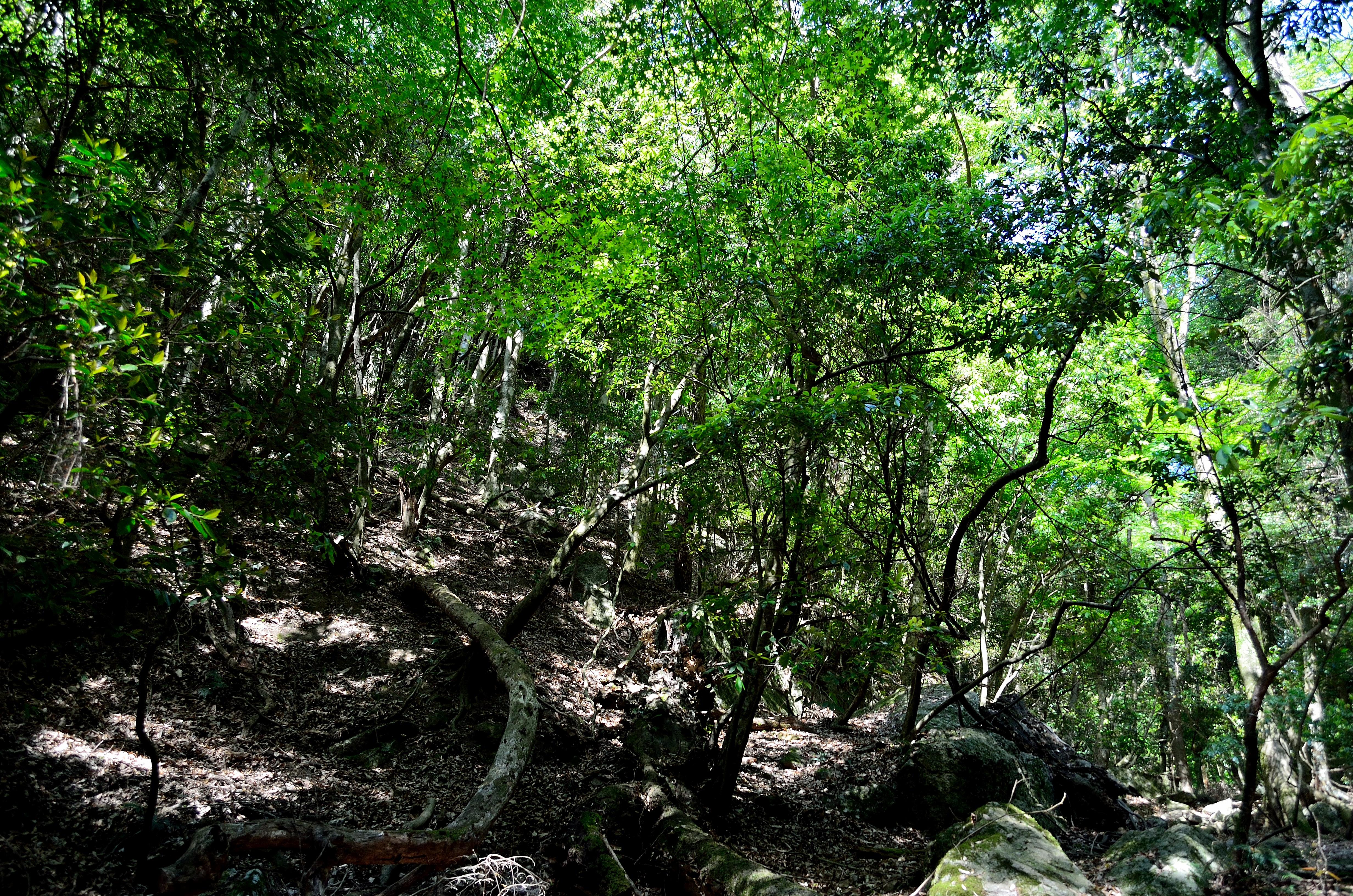 春日山原始林 斜面の木々