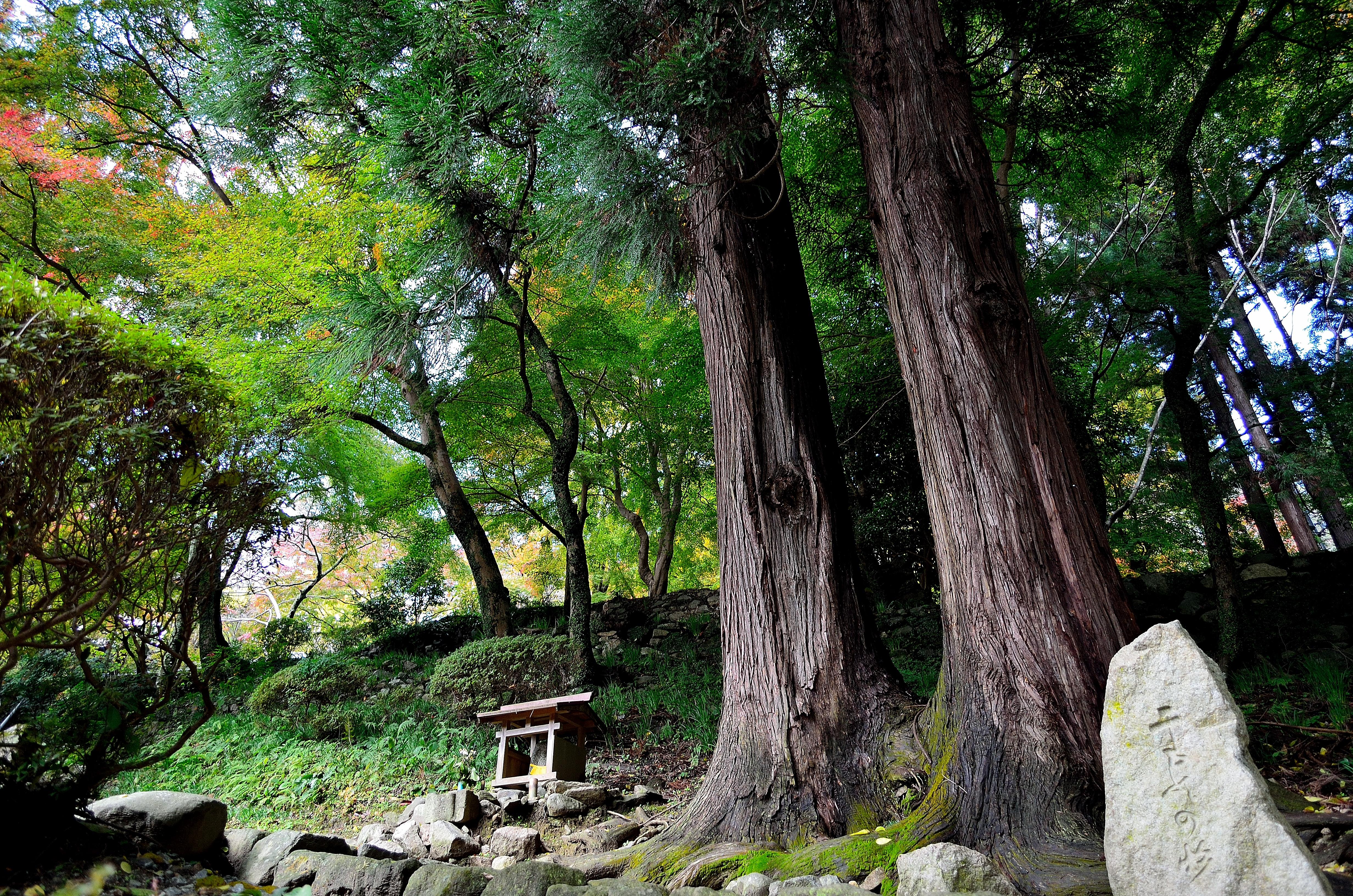 長谷寺 二本の杉